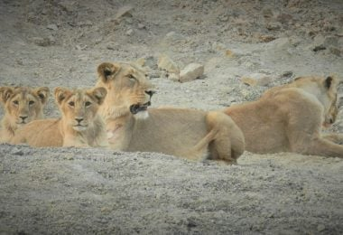 GIR: The Asiatic Lion's retreat - Justwravel